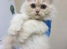 قط شيرازى بيور عمر شهرين ونصف