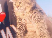 قطط شرازي للبيع