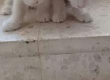قطة شيرازي مع بناتها