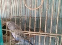 عصافير بقلينو للبيع