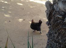 كوبية ذجاج استرلية اللبيع