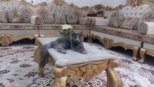 قطه شيرازيه للبيع صغيره 40ريال