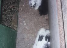 ارانب هولنديه صغيره
