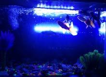 سمك مع حوض غراض الحوض كامله من فلتر وشمعه وحصو واشجار ديكور +عليه اكل وكلور وتغر
