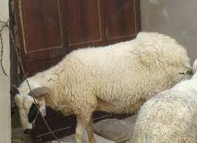 خروف وطني للبيع ...ريفي جاي من ترهونة ساومني