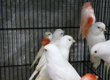 هون الطيور النخب