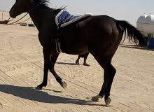 للبيع حصان خصي انجليزي هادئ جدا يصلح للكبار والصغار