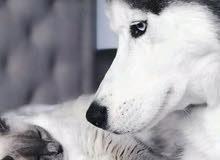 مطلوب بلاستيشن 3 معدل أو 4 للتبديل ع كلب هاسكي