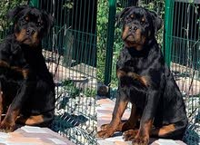 For Sale ........ Superrrr  (  rottweiler ) male 6 month it's from