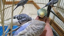 budgies young home breeded