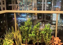 Less Price!Beutiful FicusPlants for Balcony/ Outdoor