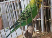 male budgie bird, plus large cage plus big parakeet stand