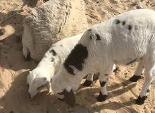 بسم الله ،،، نعجة اول جمع تحتها خروف وفطيمة الله يبارك