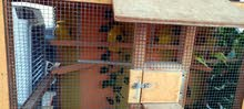 5 budgies with Wooden cage