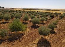 مزرعه 21 دونم القصر باتجاه  السماكيه   مزروعه زيتون   م 900 شجره مثمره   مع بيت