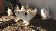 دجاج السلكي