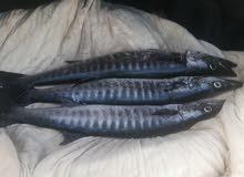 سمك للبيع طازج