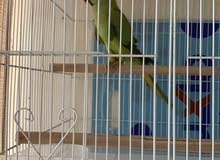 Indian Ringneck with cage for sale