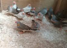 يوجد 10 اجواز عصفير طيور جنه