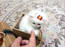 قطة شيرازي/A Shirazi Cat