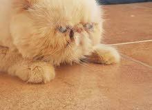قطط شيرازي مكس هملايا للبيع واول صوره ذكر اورانج كريمي للتزاوج