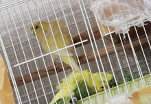 3 Hago Budgies for 200