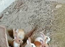 للبيع ارانب صغار بصحة جيدة اخواني الحبه 3 ريال من الأخر