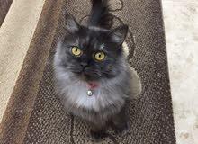 قطه شيرازيه انثى بيور العمر 8 شهور بحاله ممتازه