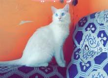 قطه شيرازي 30 الف ريال