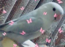 طير حب ربوة مفقود في خيطان