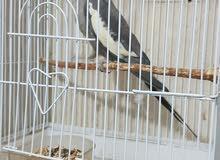 للبيع ذكر كروان هولندي حجم جامبو شرط وريشة الطير نظيفة