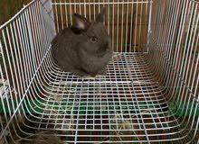 ارانب زينه من نوع القزم الهولندي سلالة نقية