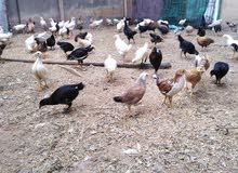 دجاج العماني للبيع