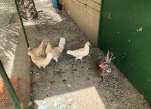 ديك + 4 دجاج سيافي كريمي بعضه بياض والاخر قريب ع البيض