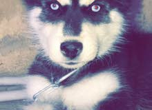 كلب هاسكي سببيري أصلي عظم عريض وشعر طويل وماخد تطعيمو الخماسي وحبة الدود