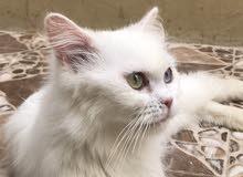 قطه شيرازي بيضاء منتجه و جميله