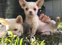 Chihuahua Puppy in Kuwait