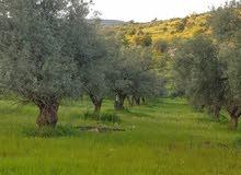 ارض مزروعه اشجار زيتون معمره  - جرش - المجدل