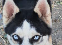 كلب هاسكي اصلي