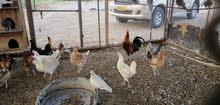 دجاج عماني بياض ممتاز للتربيه