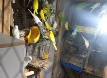 عصافير حب جواز البينو والتينو