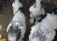 دكتورة 2ديوجه و3دجاجات