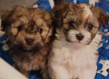 Pure Havanese Puppy