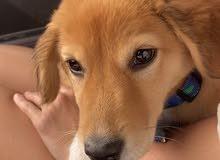 5 Months Golden puppy