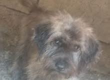كلب انثئ تيري اقرا الوصف