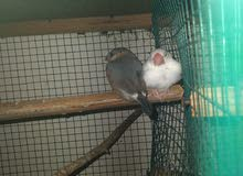 2 java babies and 1 finch baby male for sale