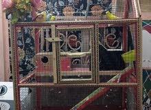 طيور الحب هولندي زوجين وقفص مع ملحقات الطعام