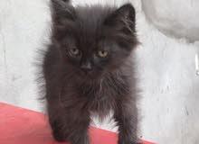 قطط فارسي هاملايا