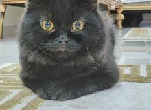 تزاوج قط شيرازي مكس هامالايا ذكر