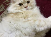 القط شيرازي ذكر 4اشهر  يحب اللعب و الأطفال و نظيف و مطعم  و مع جميع الأشياء الخاص به